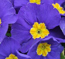 Purple Primula by StinaStone