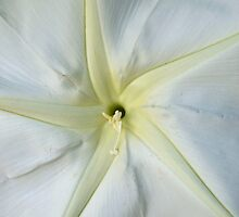 Velvety Moon Flower by Michelle Sypult