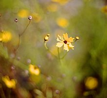 Coreopsis - Florida State Wildflower by njordphoto