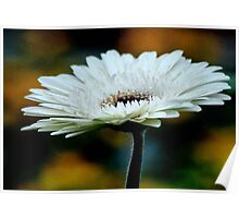 GERBERA IN WHITE - Gerbera in WIT Poster