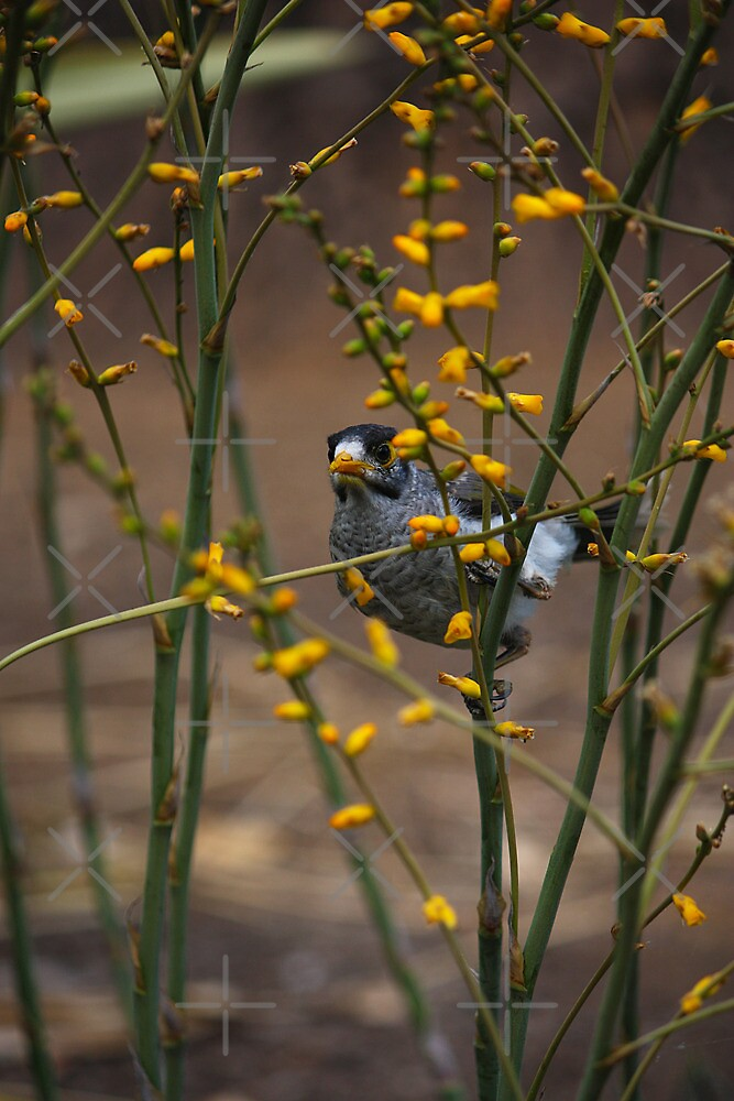 Hide-and-Seek Myna by Lawrie McConnell