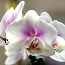 Blushed White Phalanopsis by annofsilhouette