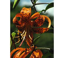 Turk's Cap Lily Photographic Print