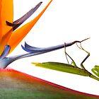 Tropical mantis by Alex  Bramwell