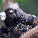 Marmoset and Young by Bill  Robinson