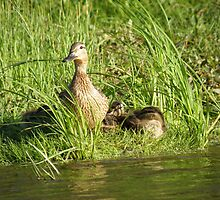 Duck with duckling by the riverside by TIQA