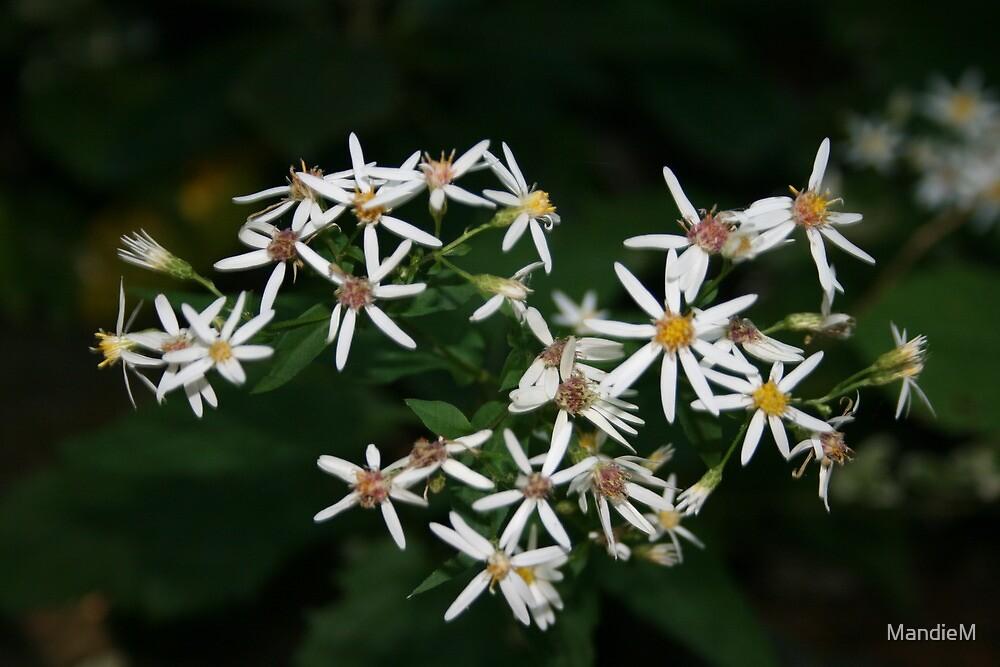 daisy, daisy by MandieM