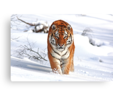 A Tiger in the Snow Canvas Print
