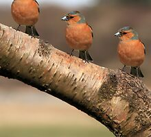 Three Chaffinches Branch Out - Lochwinnoch Scotland by simpsonvisuals