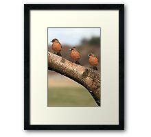 Three Chaffinches Branch Out - Lochwinnoch Scotland Framed Print