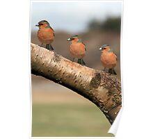 Three Chaffinches Branch Out - Lochwinnoch Scotland Poster