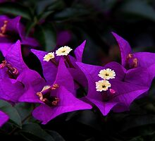 Bouganvillea by Vickie Emms
