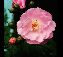 """""""The rose speaks of love silently, in a language known only to the heart."""" by manumint"""