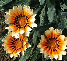 Daisies (1448) by ScenerybyDesign