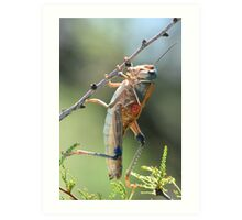 Grasshopper, PLAINS LUBBER Art Print