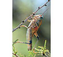 Grasshopper, PLAINS LUBBER Photographic Print