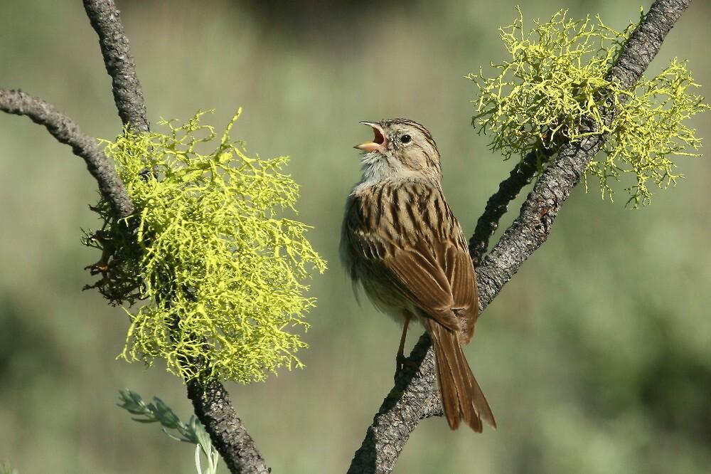 Brewer's Sparrow by tonybat