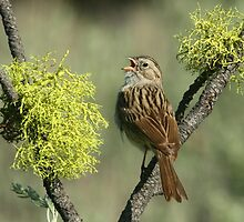 Brewer's Sparrow by tonybat