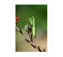 Preying Mantis Art Print