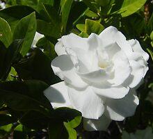 Gardenia by Gary Kelly