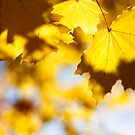 golden fall by sara montour