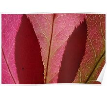 spindle tree leaves Poster