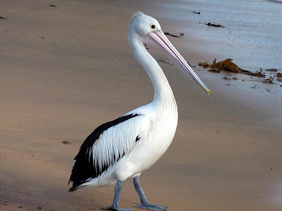 Pelican on Long reef beach by Doug Cliff
