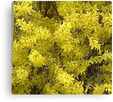 Forsythia Glory....title by jules572....Thank You jules!! Canvas Print