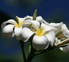 Frangipani beauty by UpUpandAway