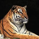 Tiger by Charuhas  Images