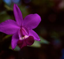 Orchid by njordphoto