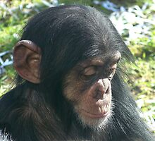 Baby chimp at Taronga Zoo by Pam Amos