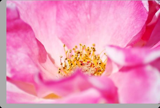 Pink Parfait Rose by garts