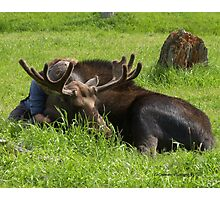A Moose and his Girl Photographic Print