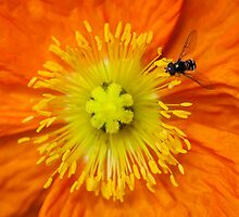 Explosion of Orange by Cathy Middleton