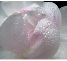 Pale rose Photographic Print