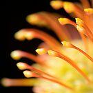 Leucospermum by Sarah-Jane Covey