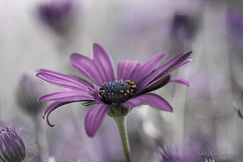Purple Haze by Kelly Cavanaugh