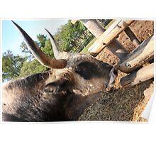 Hungarian Grey Cattle bull Poster