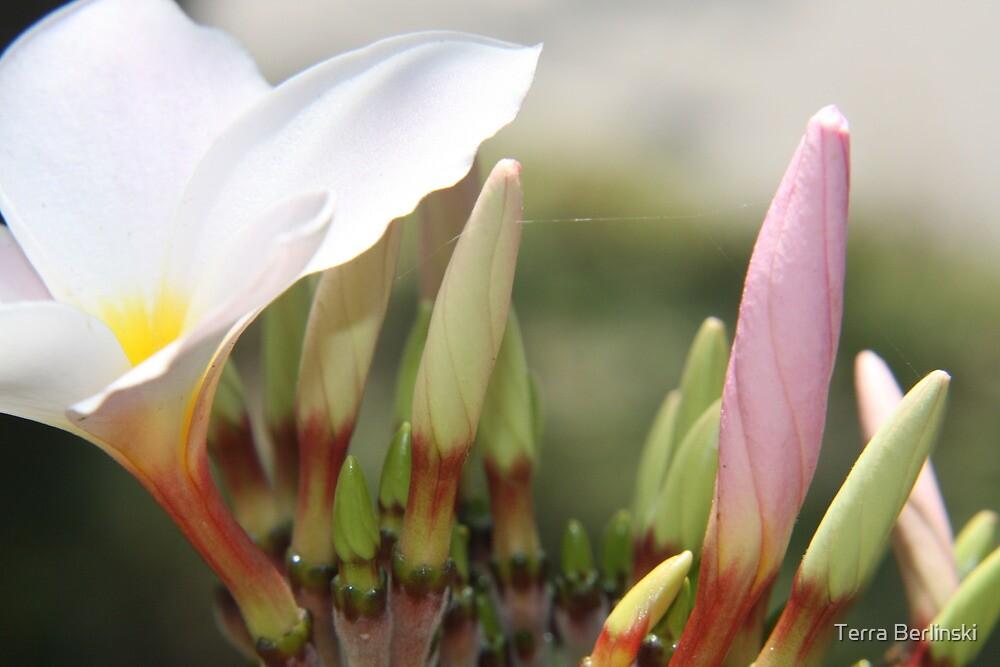 Plumeria Bloom by Terra Berlinski