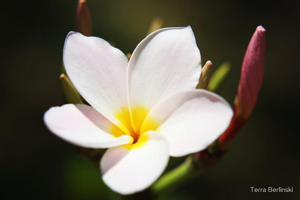 Plumeria Bloom, two by Terra Berlinski