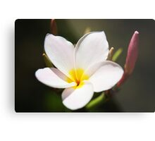 Plumeria Bloom, two Metal Print