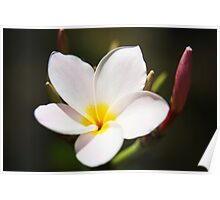 Plumeria Bloom, two Poster