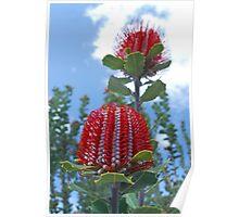 Scarlet Banksia, Monjimup Lake Reserve, Esperance, Western Australia Poster