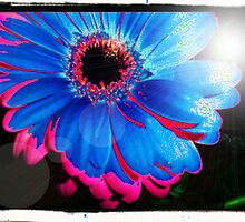 Two Tone Gerbera by Pamela Chan