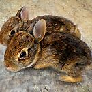 Eastern Cottontail Bunnies by Kay Kempton Raade