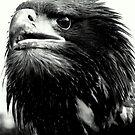 Sea eagle in black & white by Alan Mattison