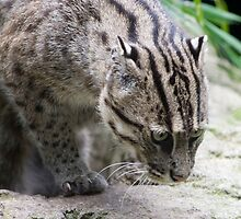 Fishing Cat by Kellea Croft