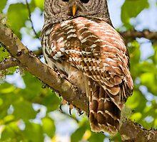 BARRED OWL by Sandy Stewart
