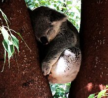 Koala Sleeping by Adamzworld